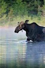 Preview iPhone wallpaper Moose walk in river