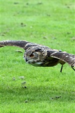 Preview iPhone wallpaper Owl flight, wings, green grass
