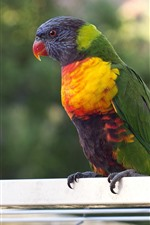 Preview iPhone wallpaper Parrot, colorful feather, bird, pet