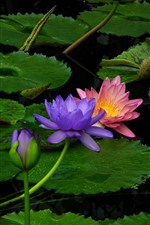 Preview iPhone wallpaper Pink and purple water lilies, green leaves, pond