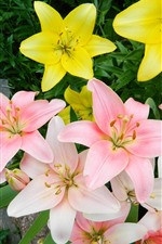 Preview iPhone wallpaper Pink and yellow lilies bloom