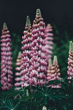 Pink lupine flowers, hazy background