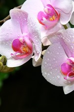 Preview iPhone wallpaper Pink orchids, water droplets, phalaenopsis