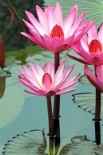 Preview iPhone wallpaper Pink water lily, flowers, pond