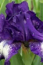 iPhone обои Фиолетовые цветы ириса, капли воды, зеленые листья