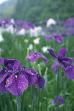 Purple irises, after rain, water droplets