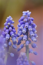 Preview iPhone wallpaper Purple muscari flowers, hazy