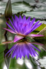 Preview iPhone wallpaper Purple water lily, pond, leaves