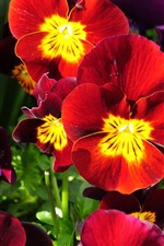 Preview iPhone wallpaper Red and purple pansies, flowers