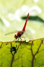 Preview iPhone wallpaper Red dragonfly, insect, green leaf, texture