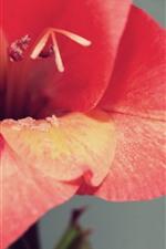 Red flower close-up, petals, stamen