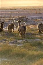 Some llamas
