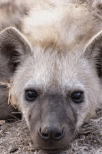 Two hyenas rest, head, nose
