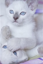 Preview iPhone wallpaper Two white kittens, blue eyes, playful