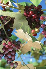 Preview iPhone wallpaper Unripe red grapes, leaves