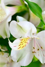 Preview iPhone wallpaper White lily, flowers, petals, macro photography