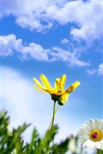 Yellow and white daisy, ladybug, blue sky, clouds