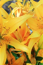 Preview iPhone wallpaper Yellow lily flowers, petals, bloom