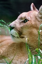 Preview iPhone wallpaper Cougar, rest, grass, look