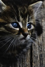 Preview iPhone wallpaper Cute gray kitten, blue eyes, look, wood