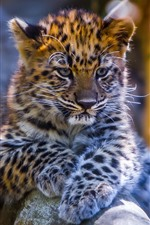 Preview iPhone wallpaper Cute leopard baby