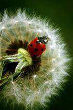Preview iPhone wallpaper Dandelion and ladybug