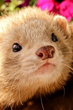 Preview iPhone wallpaper Ferret, face, nose
