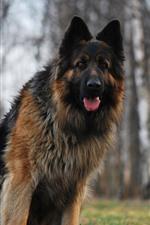 German shepherd, front view, look, hazy background