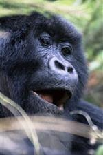 Gorilla, face, wildlife