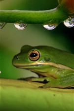 Preview iPhone wallpaper Green frog, flower, stem, water droplets