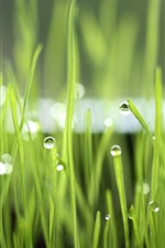 Preview iPhone wallpaper Green grass, dew, nature