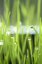 Green grass, dew, nature