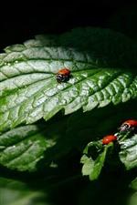 Green leaves, ladybugs, black background