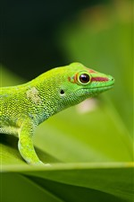 Preview iPhone wallpaper Green lizard, green leaf, wildlife