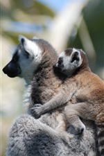 Preview iPhone wallpaper Lemur mother and cub