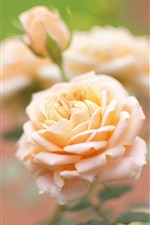 Preview iPhone wallpaper Light pink roses, flowers close-up, petals
