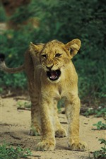 Lion cub growing
