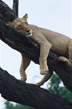 Preview iPhone wallpaper Lion sleep on the tree, sky, height