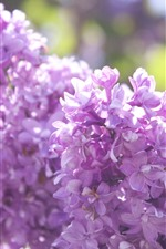 Many lilac flowers, pink