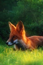 Preview iPhone wallpaper One fox, grass, hidden