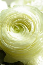 Preview iPhone wallpaper One white rose close-up, petals, leaves