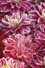 Pink chrysanthemums, water droplets