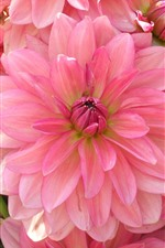 Preview iPhone wallpaper Pink dahlia, petals, flowers close-up