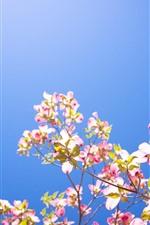 iPhone обои Розовые цветы кизила, голубое небо