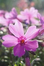 Pink flowers, petals, sunshine