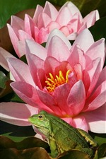 Preview iPhone wallpaper Pink water lily flowers, frog