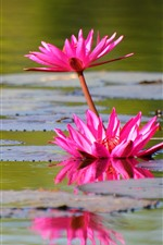 Preview iPhone wallpaper Pink water lily, flowers, pond, leaves
