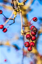 Red berries, twigs, hazy background