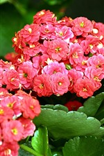 Red kalanchoe flowers, green leaves