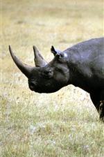 iPhone обои Носорог, прогулка, трава, живая природа
